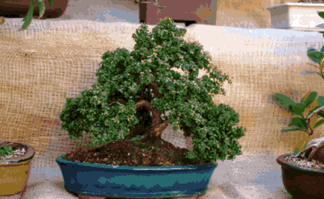 bonsai day