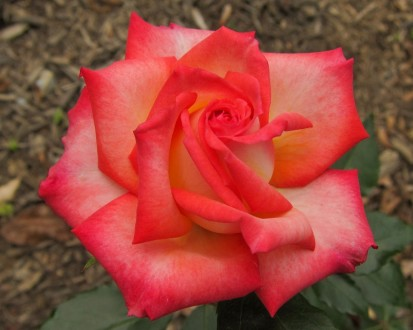 The Jersey Shore Rose Society's 43rd Annual Rose Show will take place Saturday, September 13 at Deep Cut Gardens, Middletown. Visitors are invited from 12-4 p.m. to view the rose show as well as enjoy tours of the gardens and vote on their favorite arrangements. (Photo credit: Andrew Hearne)