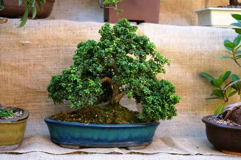 Explore the ancient and intricate art of bonsai during Bonsai Day on Sunday, September 14 from 12-4 p.m. at Deep Cut Gardens, Middletown.